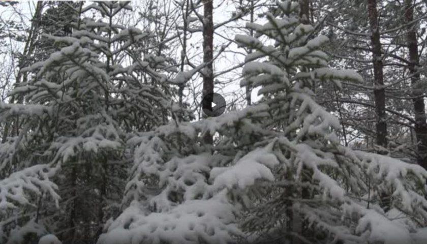 Как установить живую ель себе на Новый год? Какие правила добычи? В Нижегородской области есть программа по которой каждый нижегородец может принести в дом живую елку. Как это сделать?